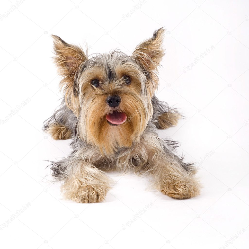 Small yorkshire terrier dog lying down in front of white — Stock Photo #2333623
