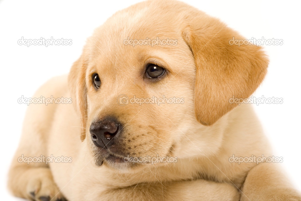 Closeup of a labrador retriever puppy with cute eyes — Stock Photo #2333678
