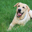 Stock Photo: Golden retriever on grass