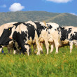 Holstein cows on grass field - Stock Photo