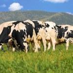 Holstein cows on grass field — Stock Photo