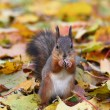 Brown squirrel in the forest — Stock Photo
