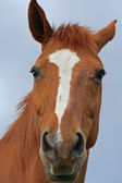 Head of brown horse — Stock Photo
