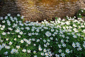White wood Anemone flowers — Stock Photo