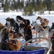 Stock Photo: Swedish sled dogs