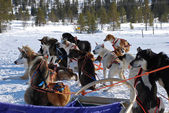 Swedish sled dogs — Stock Photo