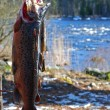 Stock Photo: Salmon trout trophy