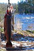 Salmon trout trophy — Stock Photo