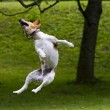 Stock Photo: Happy dog jump into air