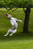 Happy dog jump into the air — Stock Photo