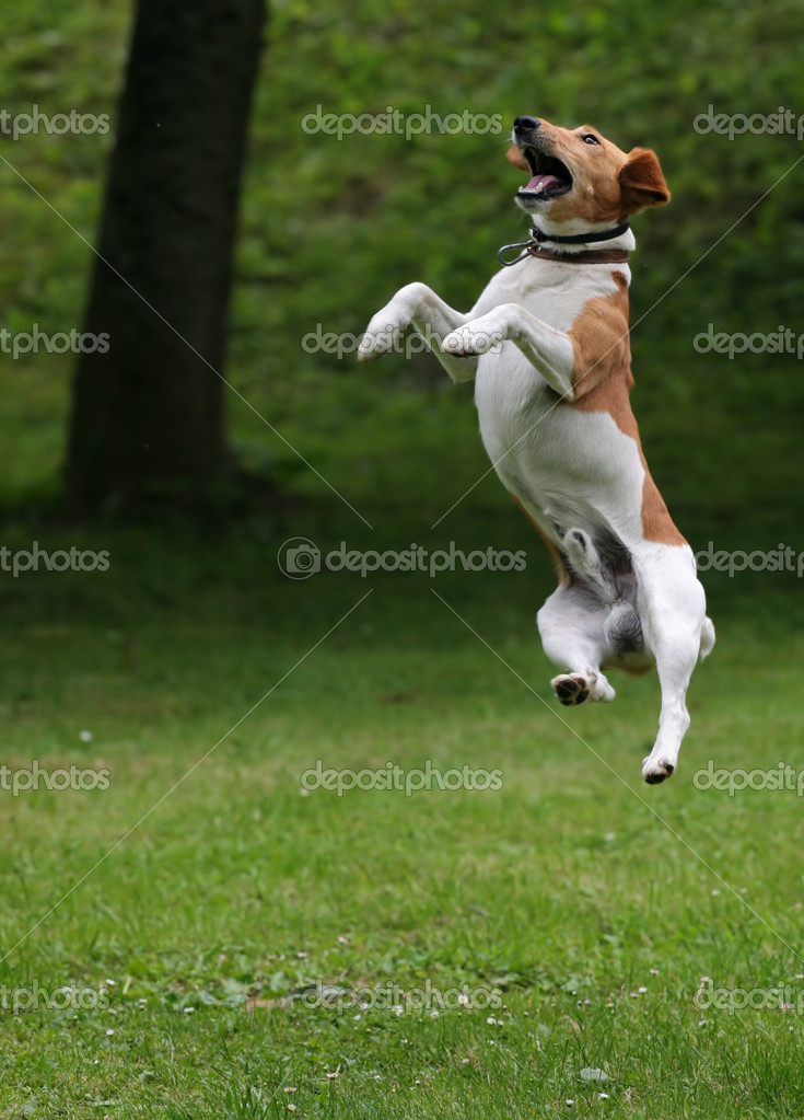 Happy Dog Jumping Happy Dog Jump Into The Air