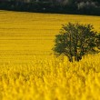 Rapefield — Stock Photo