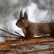 Red squirrel — Stock Photo #2685971