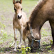 Miniature horses mother with her cub - Stock Photo