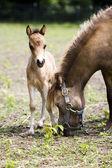 Miniature horses mother with her cub — Stock Photo
