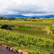 Stock Photo: Landscape view vineyards in California