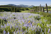 Wilde bloemen in glacier national park — Stockfoto