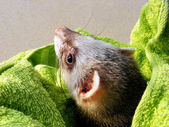 Curious ferret — Stock Photo