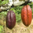Cocoa pods (Theobroma cacao) hanging fro — Stock Photo