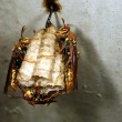 Stockfoto: Wasp nest