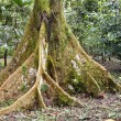 Amazonian Tree — Stock Photo #2385196