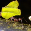 Stock Photo: Leaf cutter ant