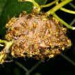 Stock Photo: Wasp nest
