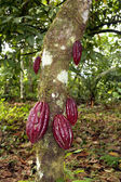 Cocoa tree — Stock Photo