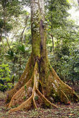Amazonian Tree — Stock Photo