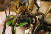 Araña — Foto de Stock