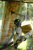 Spider monkey — Stock Photo