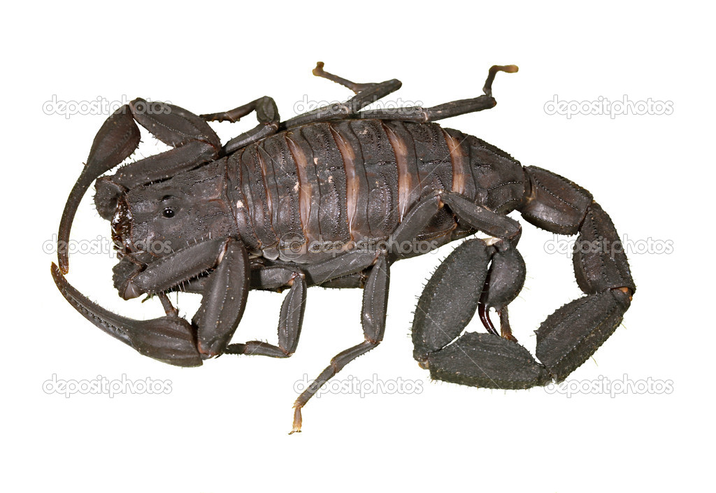 Scorpion isloated on white — Stock Photo #2381355