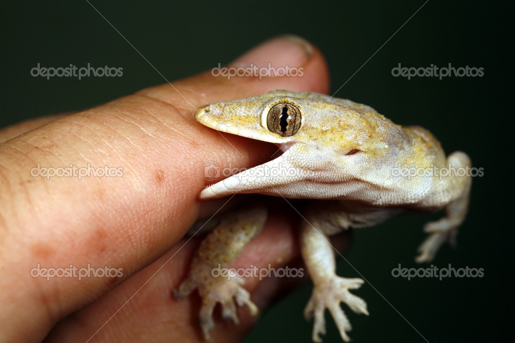 Tropical house gecko biting a finger — Stock Photo #2381524