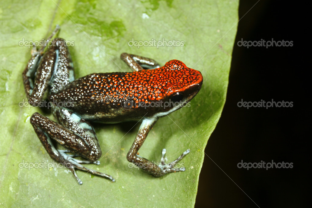 Atelopus frog poisonous - photo#18