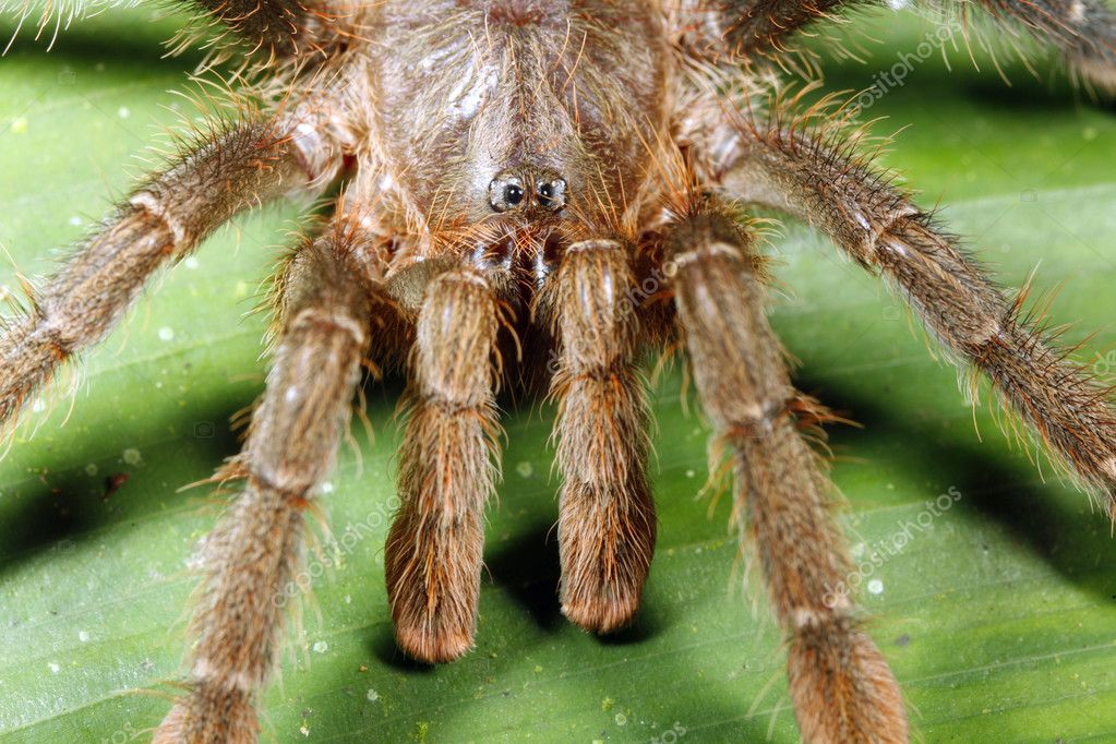 Amazonian tarantula — Stock Photo #2386321