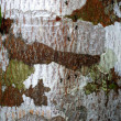 Lichen — Stock Photo
