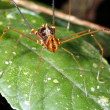 Stock Photo: Harvestman