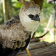 Stock Photo: Harpy Eagle