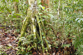 Rainforest tree — Stock Photo