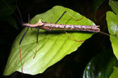 Stick insect — Stock Photo