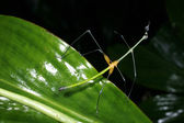 Stick grasshopper — Stock Photo