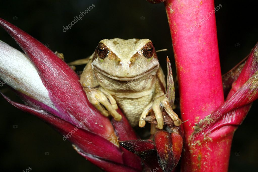 Marsupial frog (Gastrotheca riobambae)  Stock Photo #2392454