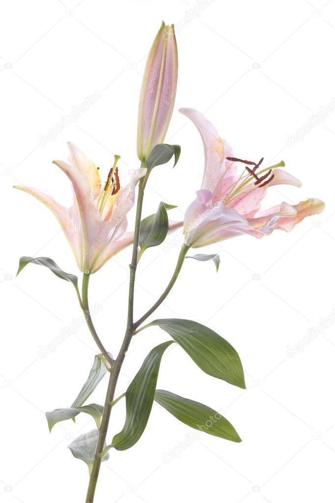 Stargazer lily flower closeup over white — Stock Photo #2482299