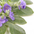Purple violets flowers over white — Stock Photo #2509424