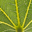 Green leaf closeup showing veins — Stock Photo