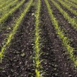 Corn seedlings crop field in spring — Stock Photo #2570179