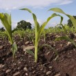 Corn seedlings crop field in spring - Stock Photo