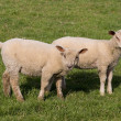 Lambs grazing in fresh pastures — Stock Photo #2570365