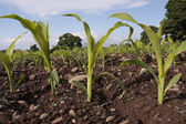 Corn seedlings crop field in spring — Stock Photo