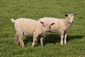 Lambs grazing in fresh pastures — Stock Photo